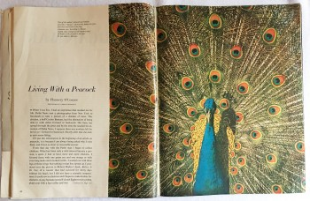 "Image for ""Living with a Peacock"" in Holiday, September, 1961"